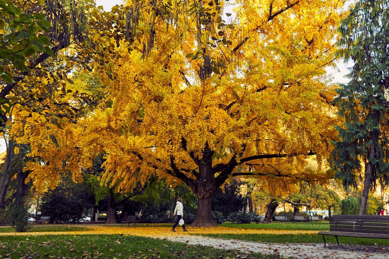 arbre gingko